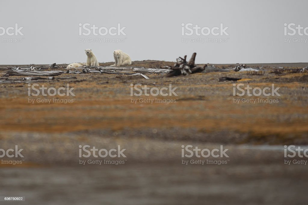 Polar Bear Sow and Two Cubs on Land in Fall stock photo
