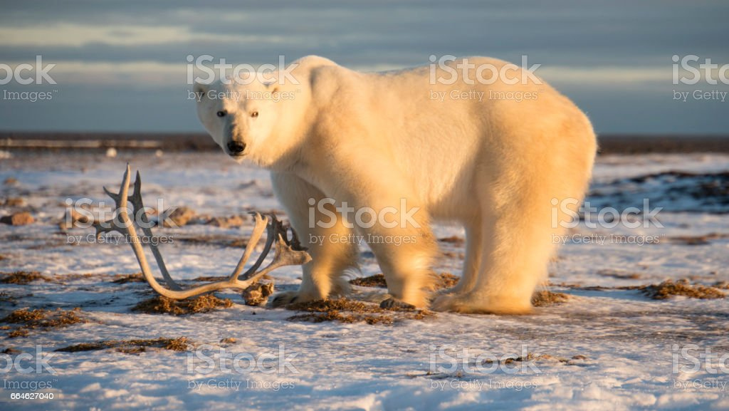 Polar bear standing at Hudson bay with deer antlers on snow. stock photo