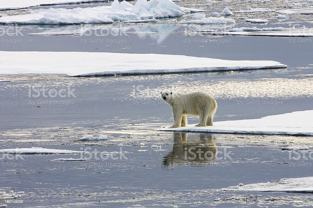 Polar bear standing on ice floe surrounded by water stock photo