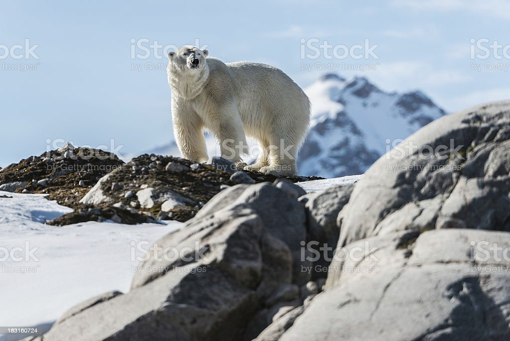 Polar bear standing on rock in Arctic stock photo