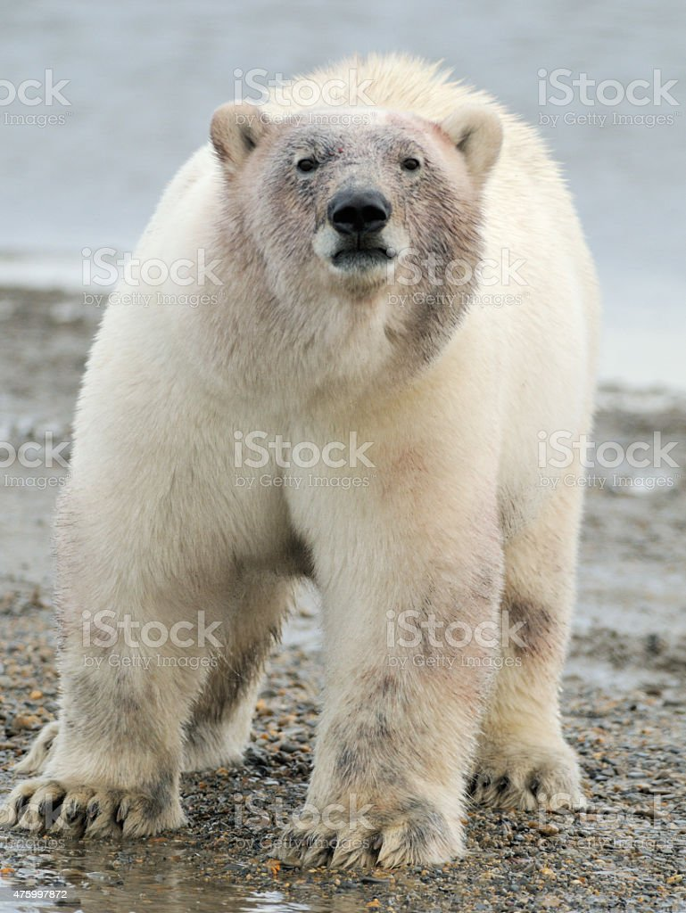Polar Bear standing stock photo