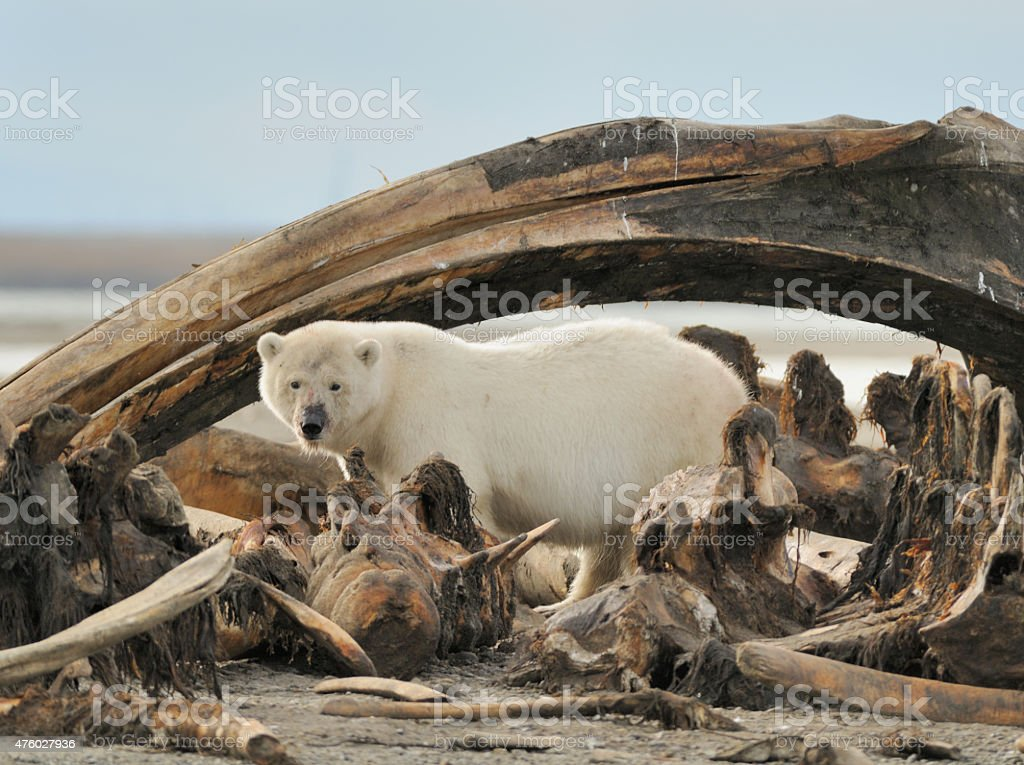 Polar Bear standing under jaw bone stock photo