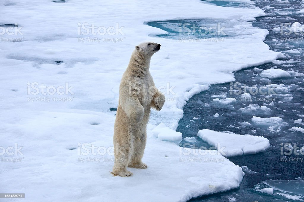 Polar bear standingon pack ice with water pond stock photo