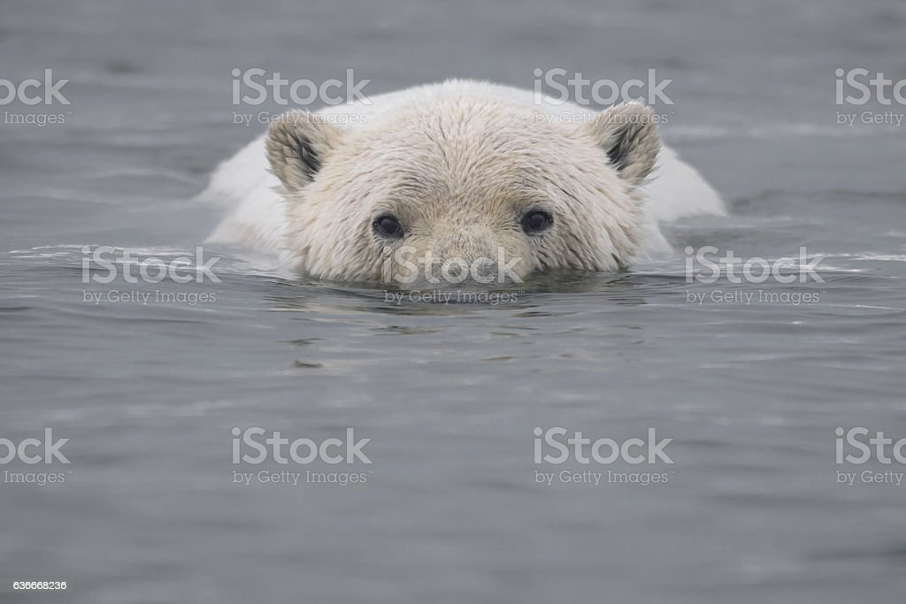 Polar Bear Swimming in Arctic Ocean with Head Above Water stock photo