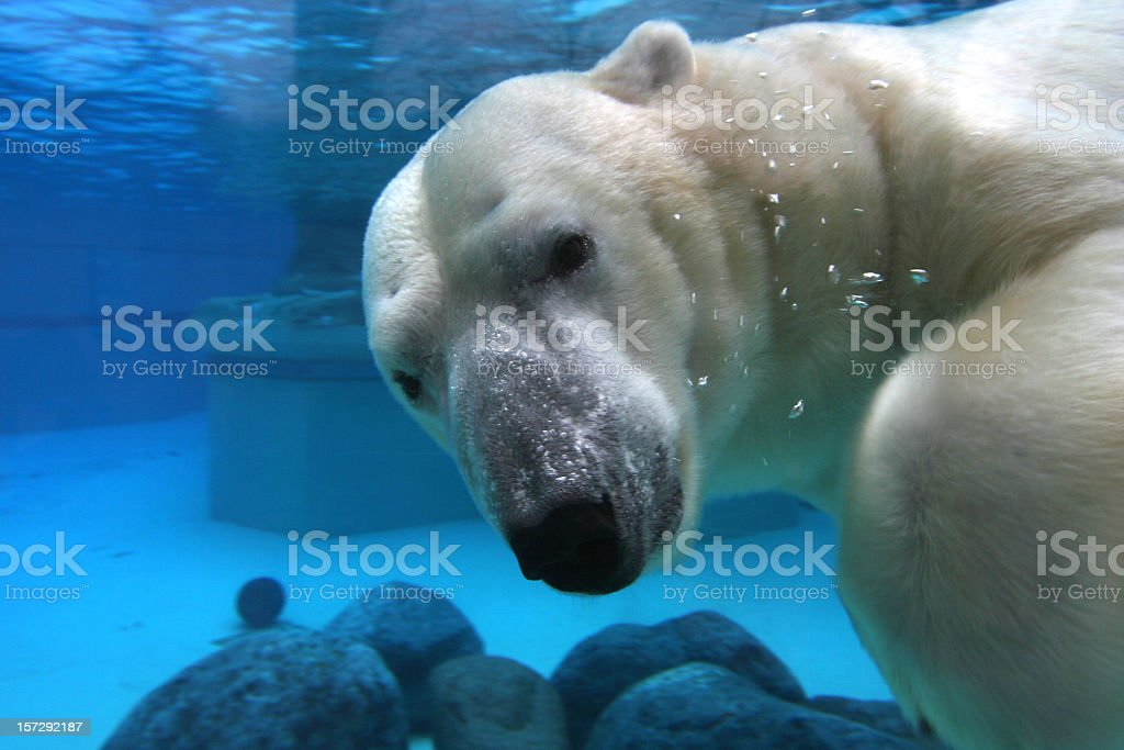 Polar bear swimming in tank, looking at camera stock photo