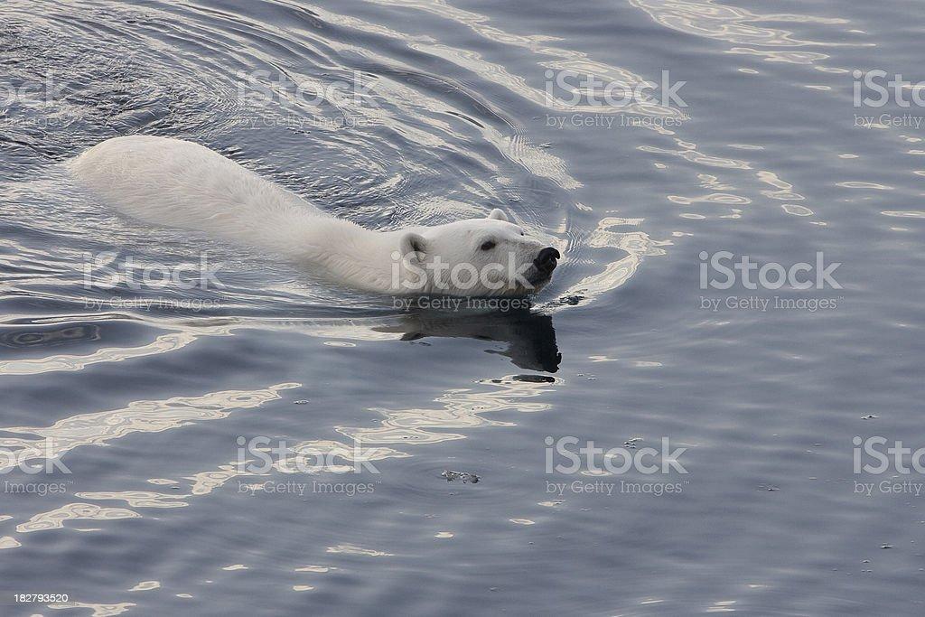 Polar bear swimming in the arctic ozean royalty-free stock photo