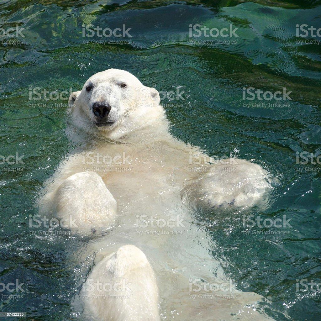 A polar bear swimming on it's back stock photo
