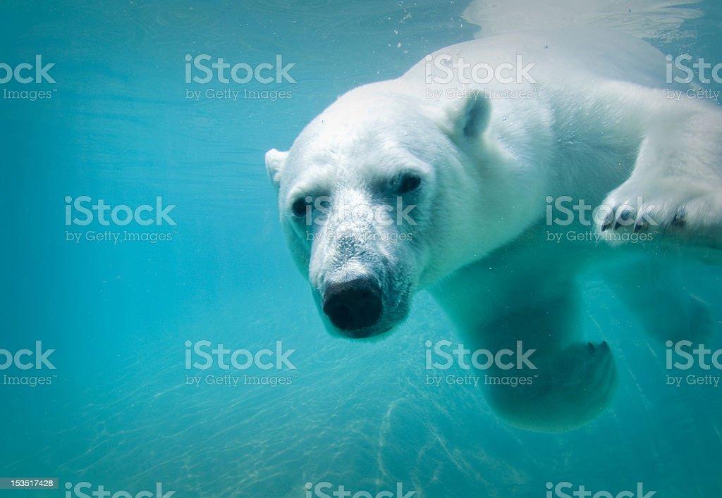 Polar bear swimming stock photo