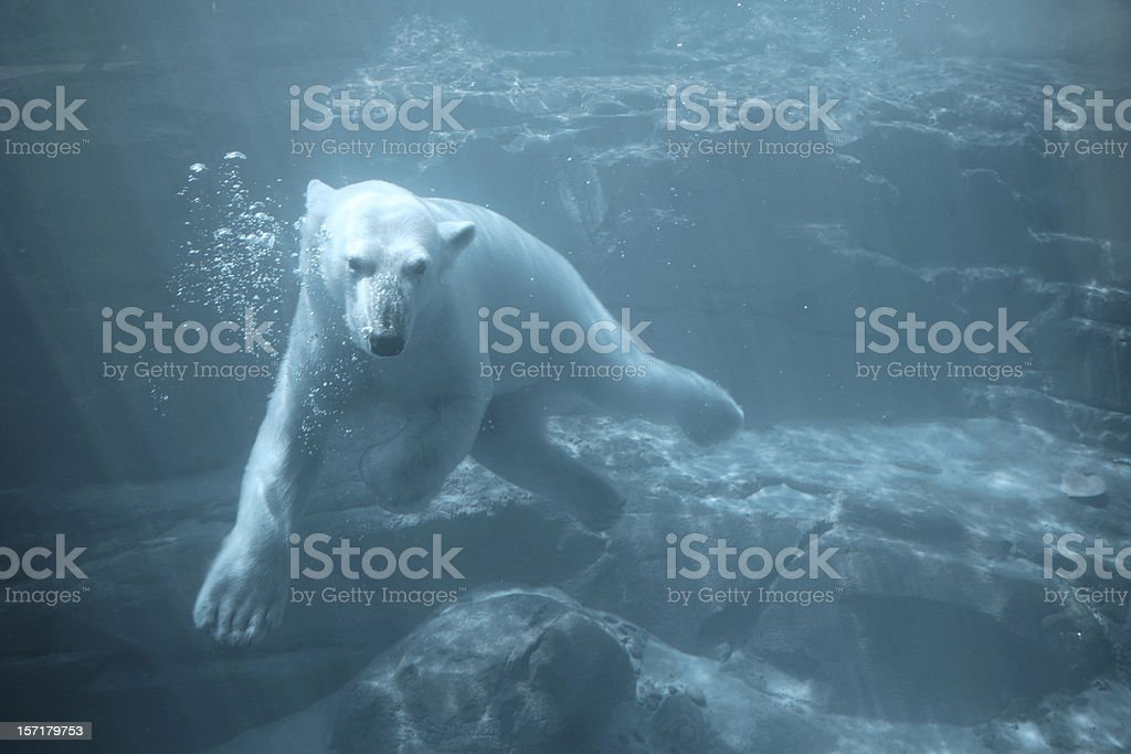 Polar Bear - Swimming Underwater stock photo
