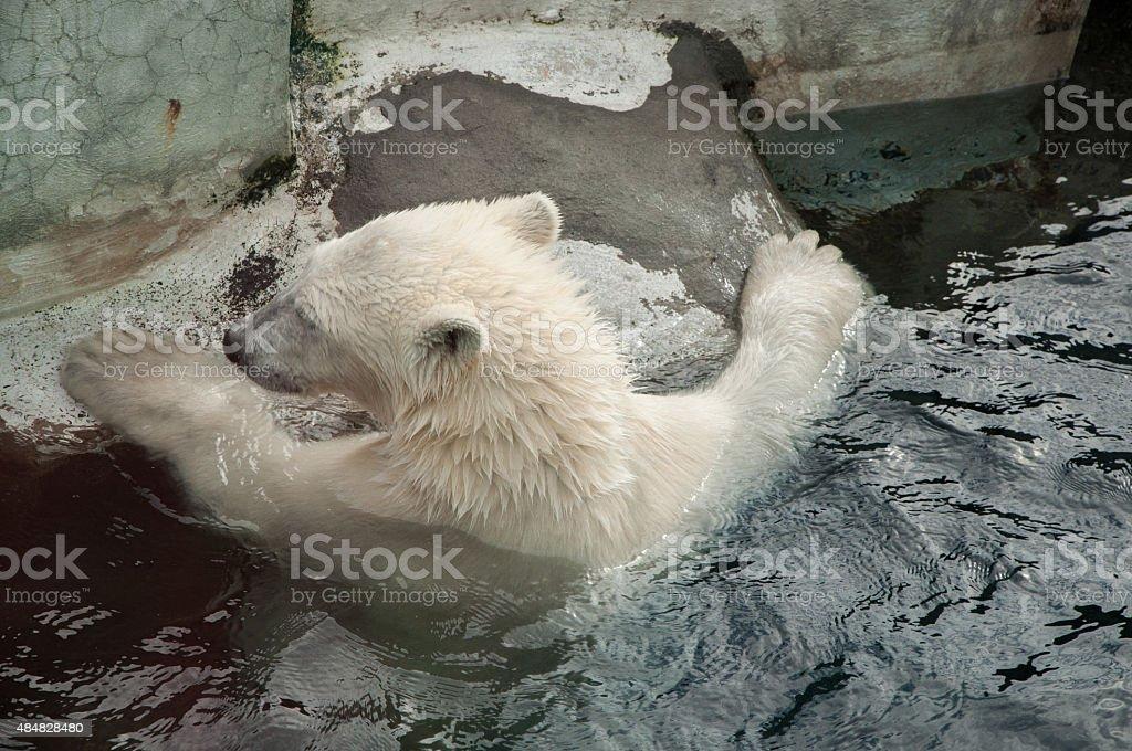 polar bear swims stock photo