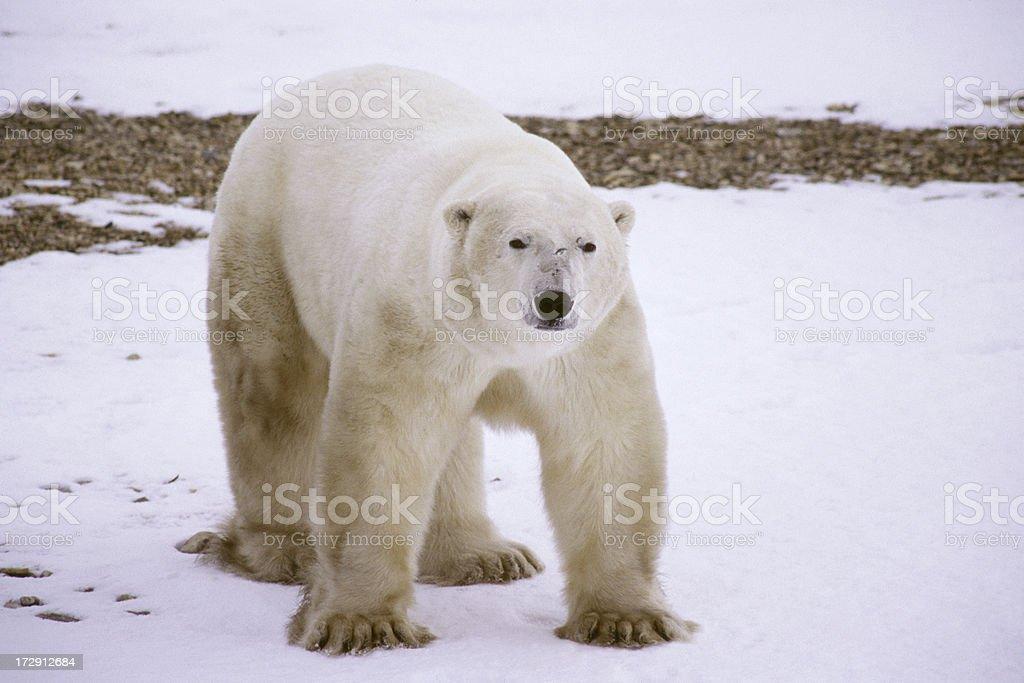Polar Bear Taking an Aggresive Stance in Churchill Manitoba royalty-free stock photo