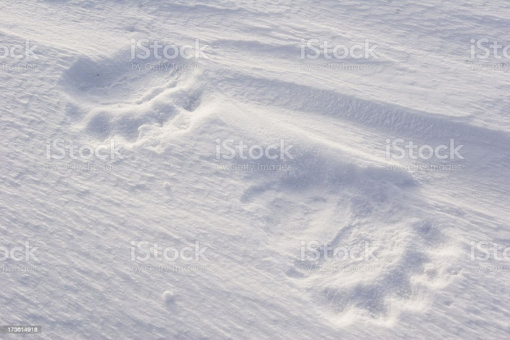 Polar bear tracks. royalty-free stock photo
