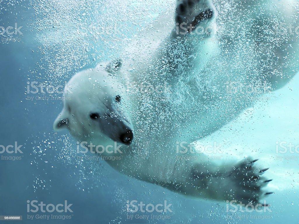 Polar bear underwater attack stock photo