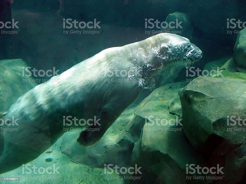 Polar Bear Underwater stock photo
