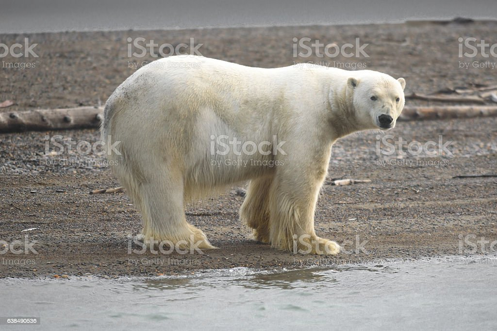 Polar Bear Up Close on Land Near Arctic Ocean stock photo