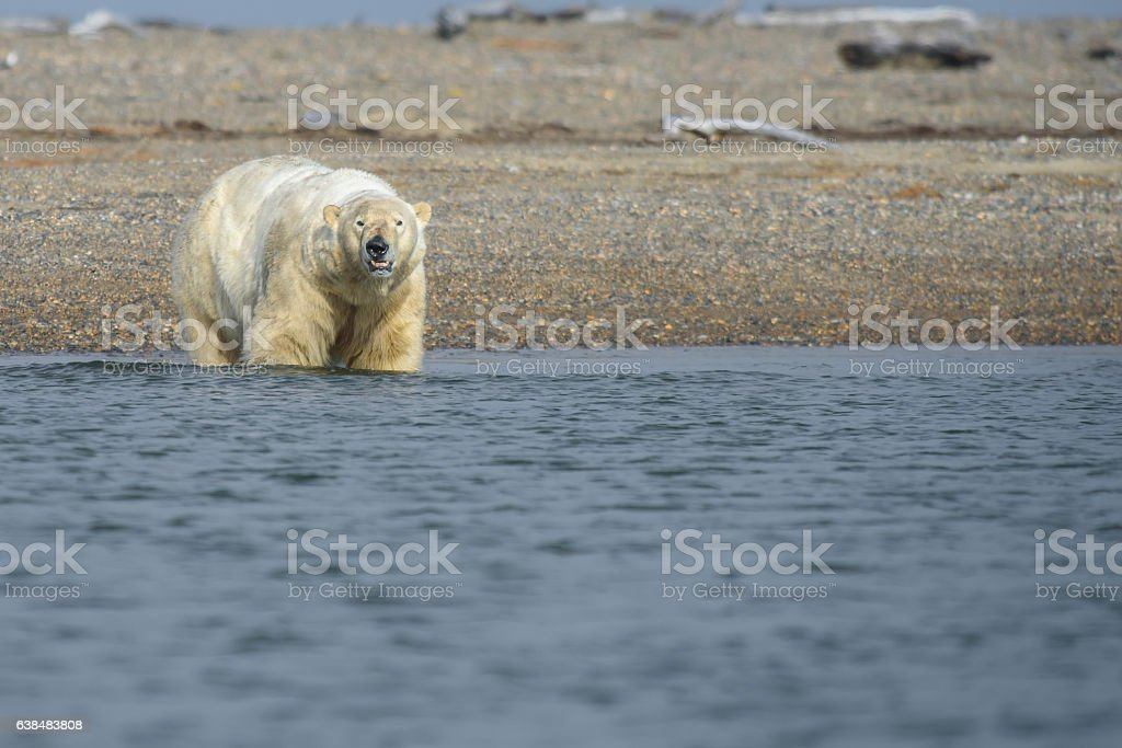 Polar Bear Wading in the Arctic Ocean stock photo