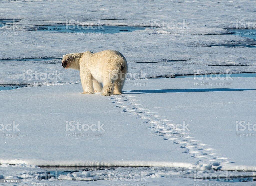 Polar Bear walking away with footprints in snow stock photo