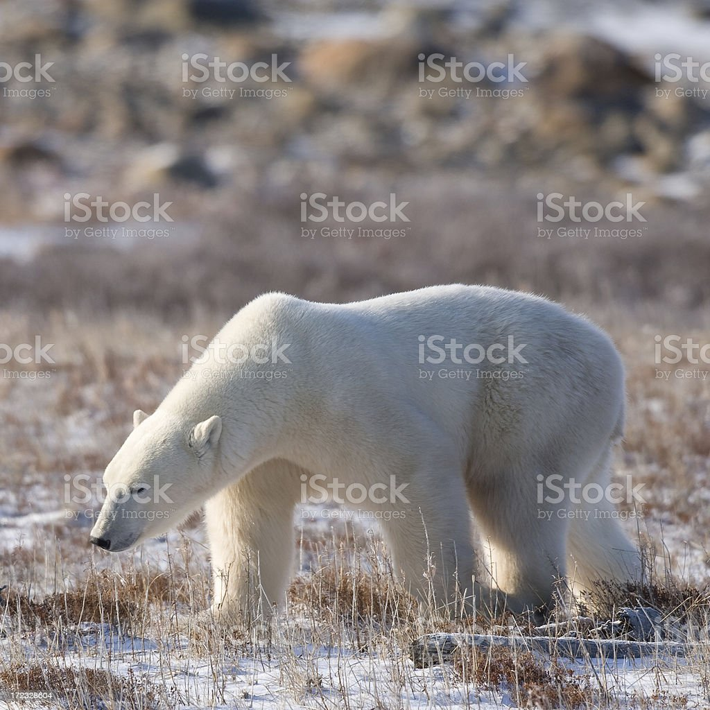 polar bear walking in tundra stock photo
