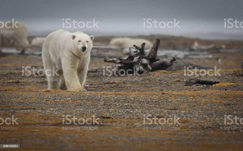 Polar Bear Walking Near Log on Land in ANWR stock photo