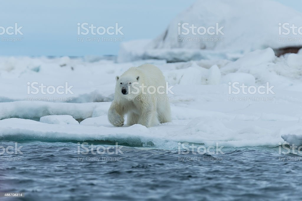Polar bear walking on ice floe surrounded by water stock photo