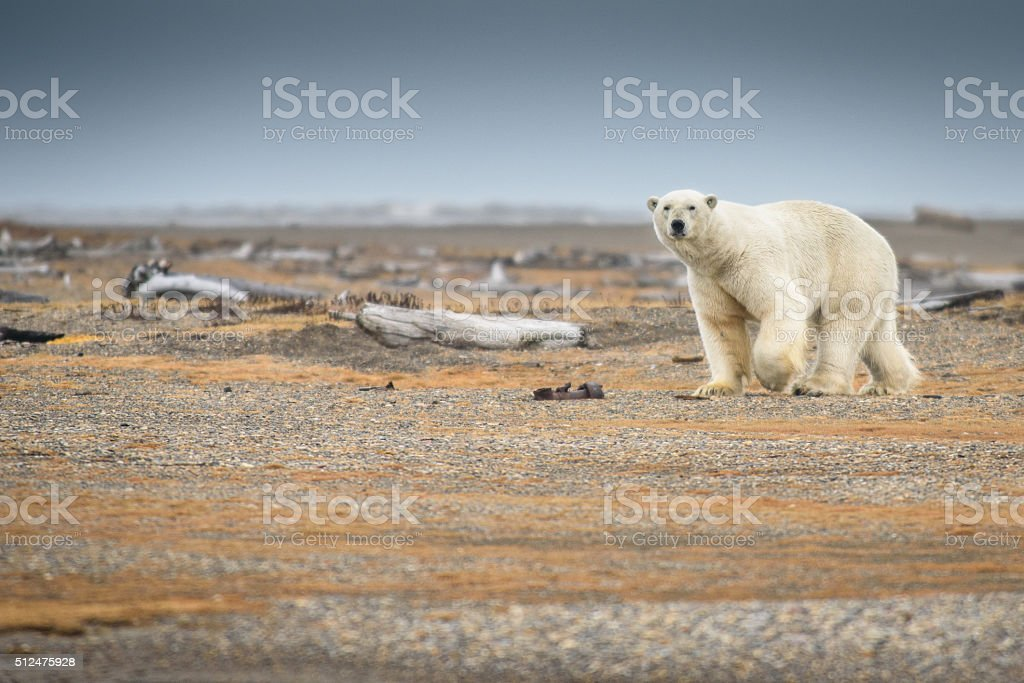 Polar Bear Walking on Land in Alaska stock photo