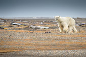 Polar Bear Walking on Land in Alaska