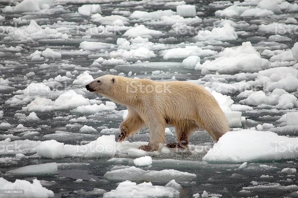 Polar Bear Walking on Melting Snow and Ice royalty-free stock photo