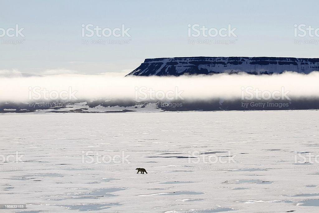 Polar bear walking on pack ice stock photo