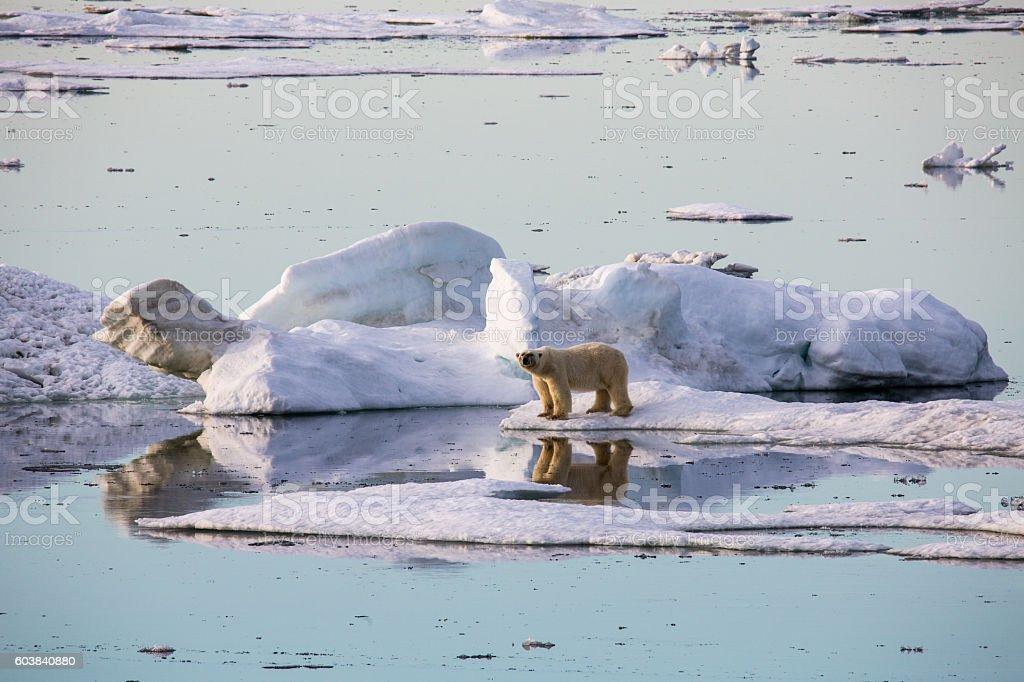 Polar bear walking on pack ice. stock photo
