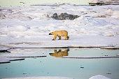 Polar bear walking on pack ice.