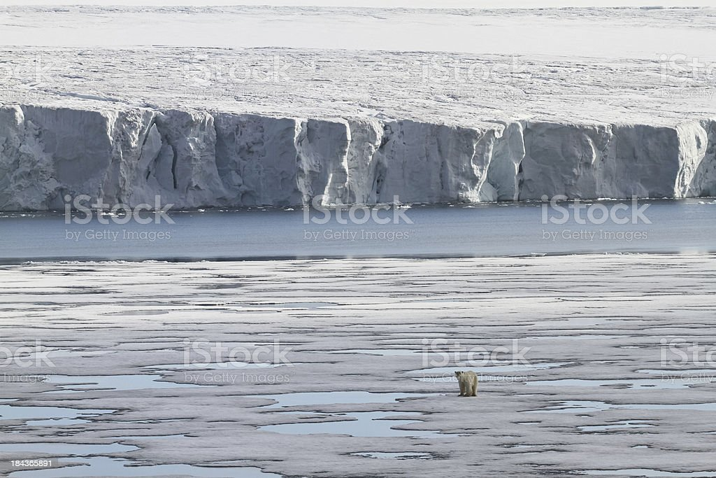 Polar bear walking on pack ice with glacier stock photo