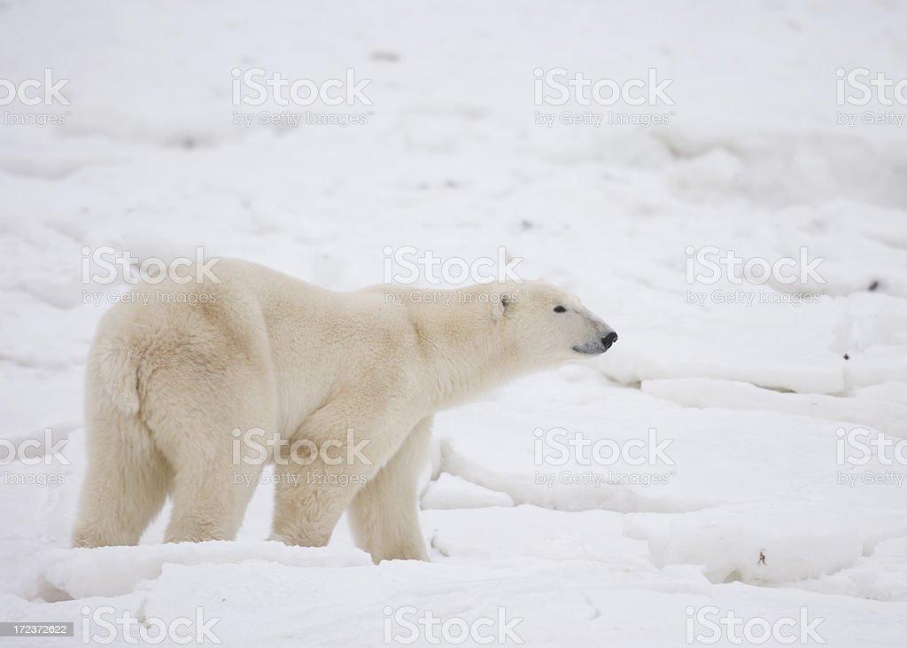polar bear walking on snow stock photo