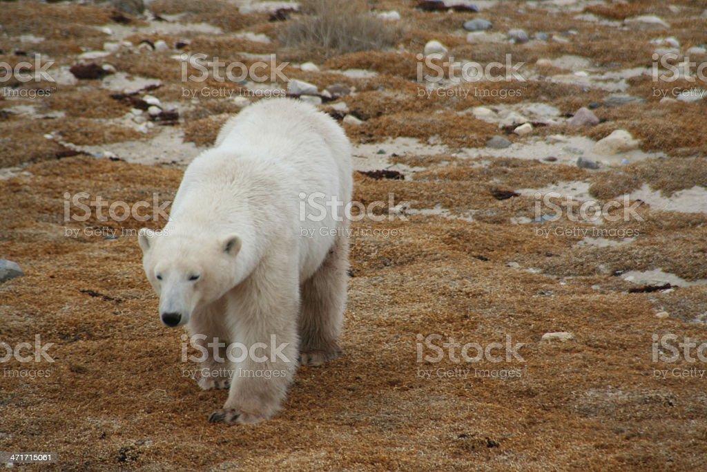 Polar Bear Walking on the Tundra royalty-free stock photo