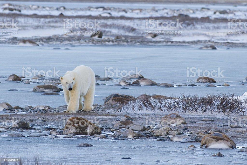Polar bear walking. royalty-free stock photo