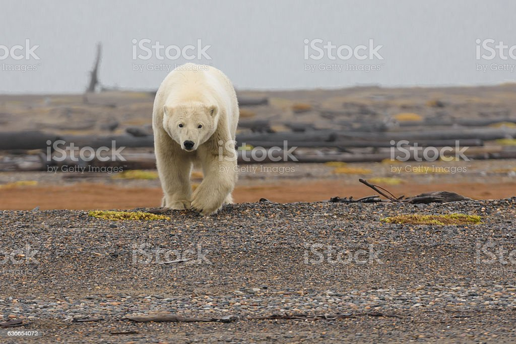 Polar Bear Walking Toward Viewer in the Arctic in Fall stock photo