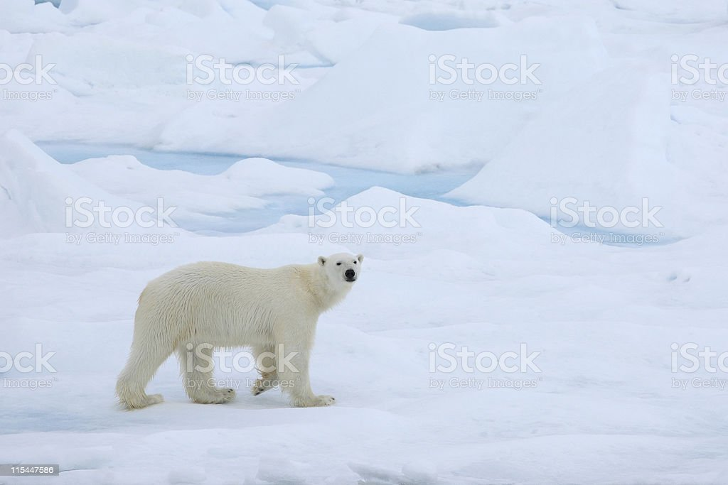A polar bear wandering in the Arctic ice stock photo