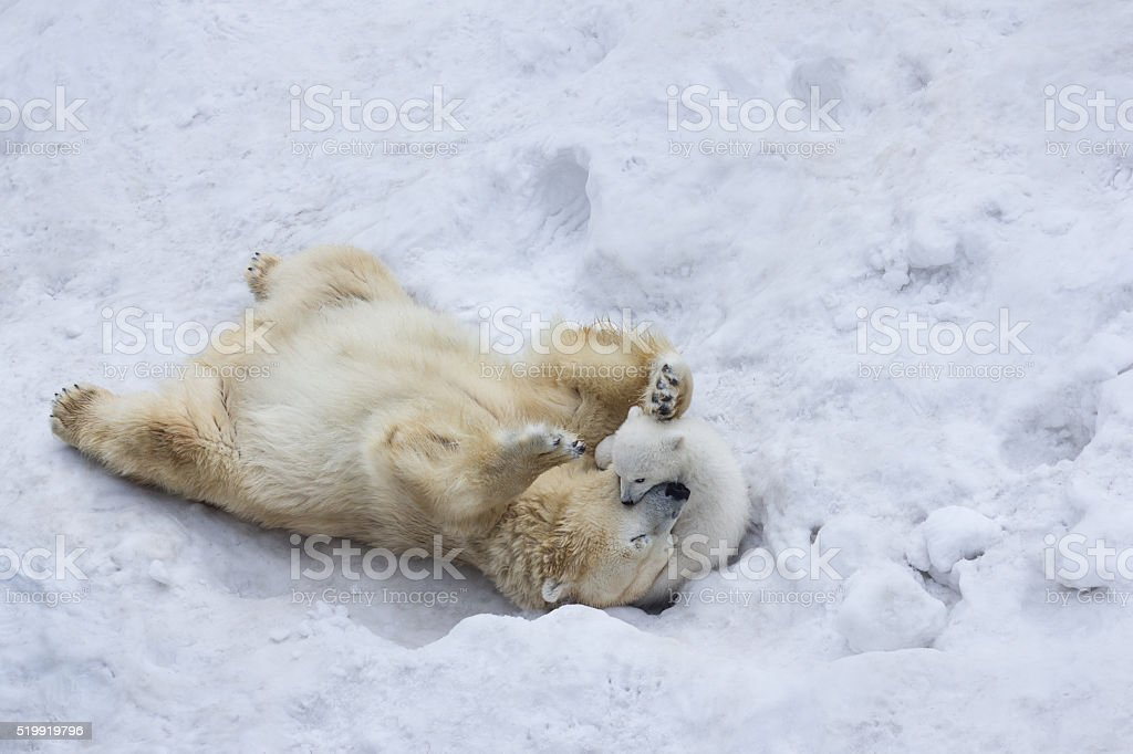 Polar bear with cub. Mother kiss. stock photo