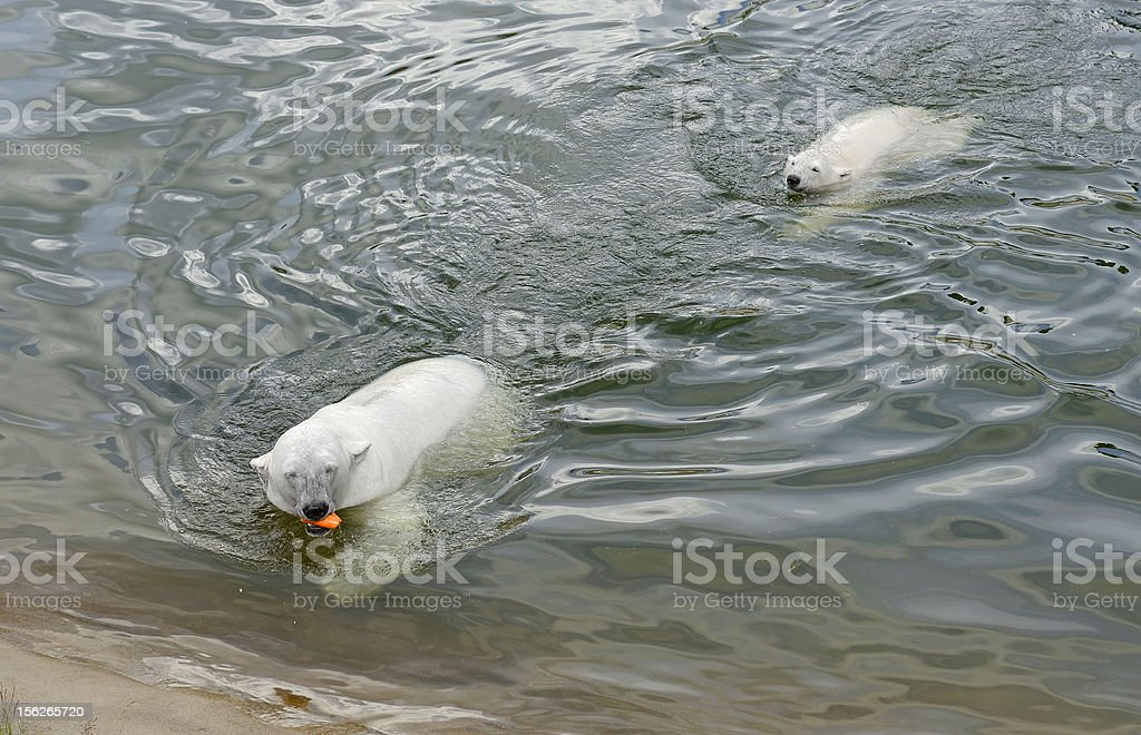 Polar bear with cub royalty-free stock photo