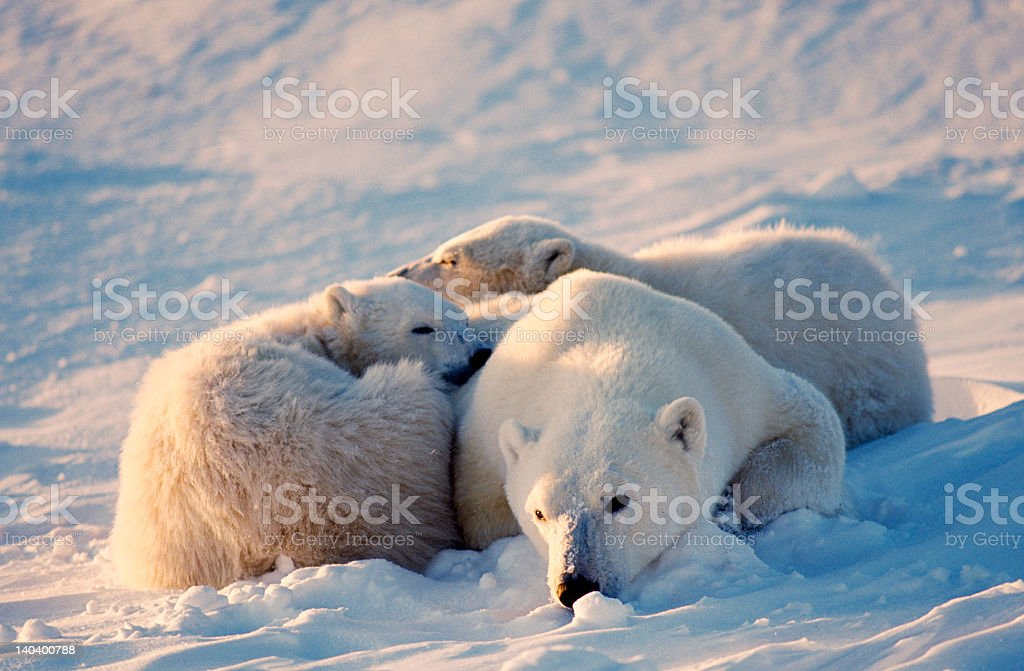 Polar bear with cubs royalty-free stock photo