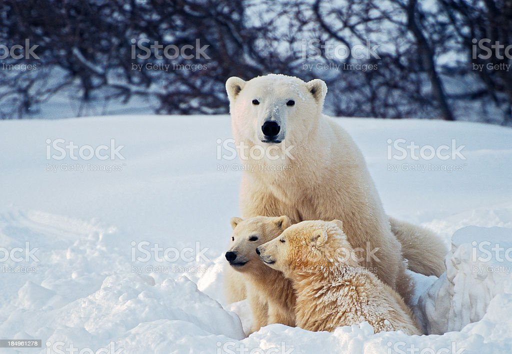 Polar Bear with Cubs stock photo