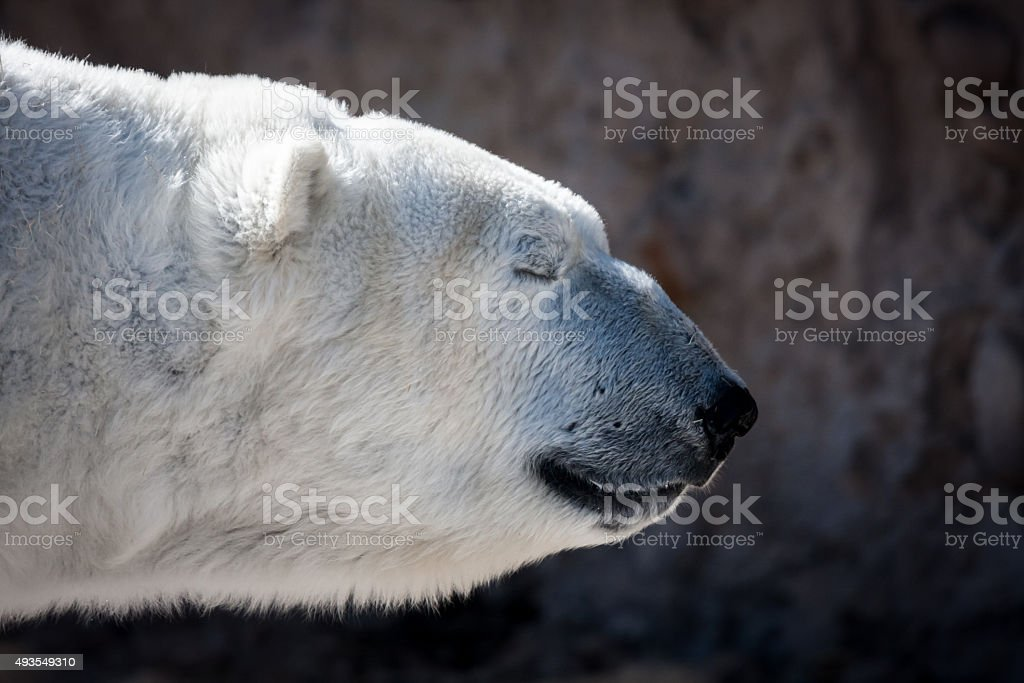Polar Bear with Eyes Closed, Side View stock photo