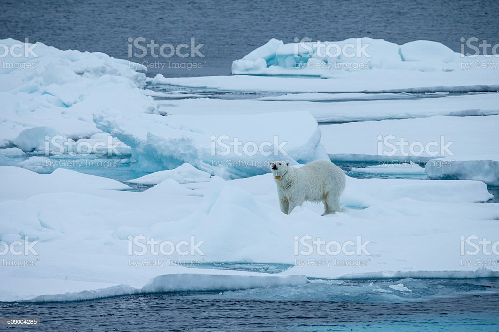 Polar bear with GPS transmitter stock photo