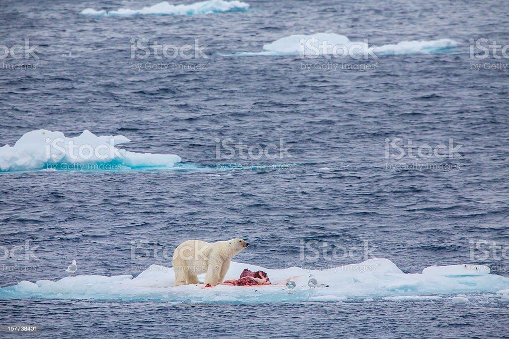 Polar bear with kill on an ice flow stock photo