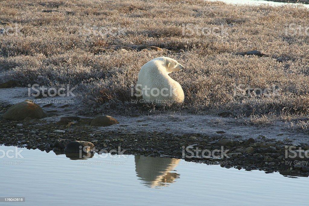 Polar Bear with Reflection royalty-free stock photo