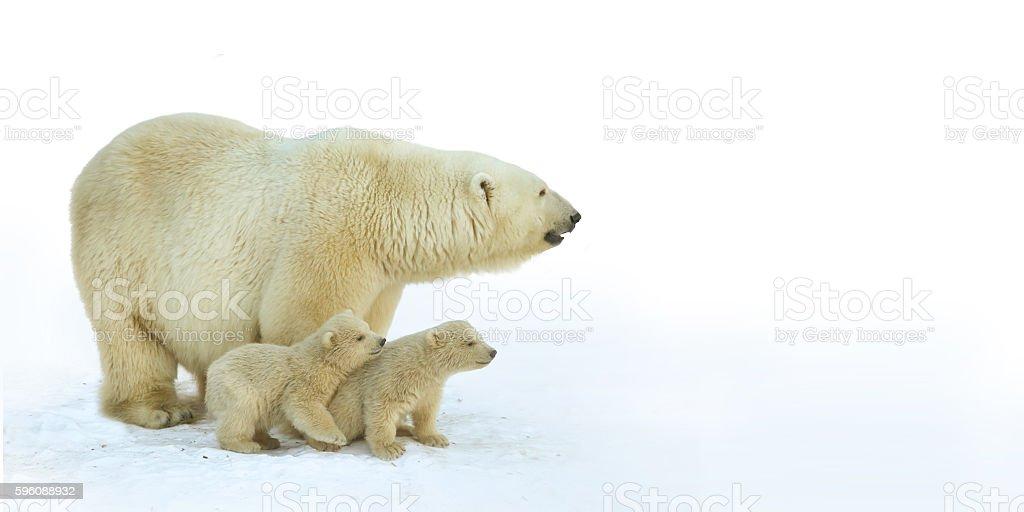 Polar bear with young cubs. stock photo