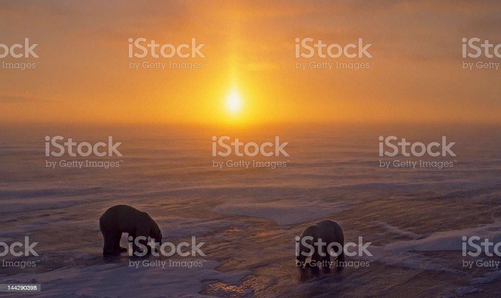 Polar bears at sunset. royalty-free stock photo