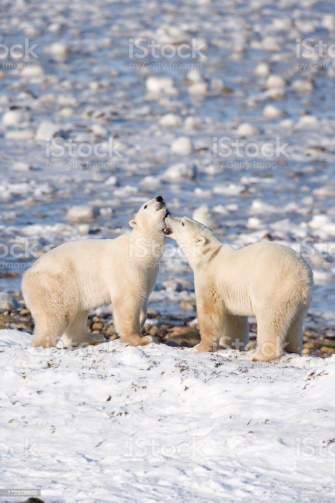polar bears fighting stock photo