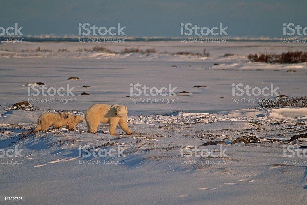 Polar bears in Canadian Arctic royalty-free stock photo