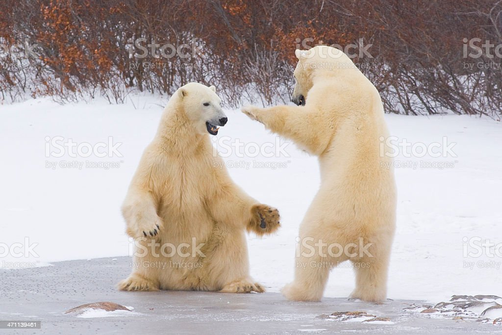 Polar bears interacting. stock photo