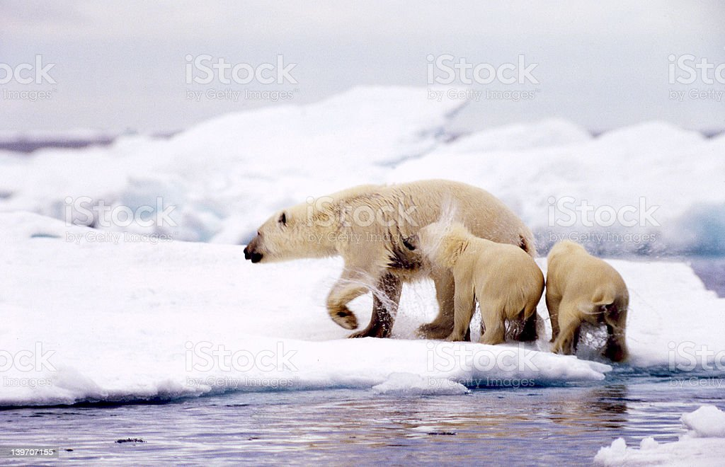 Polar bears, mother and cubs royalty-free stock photo